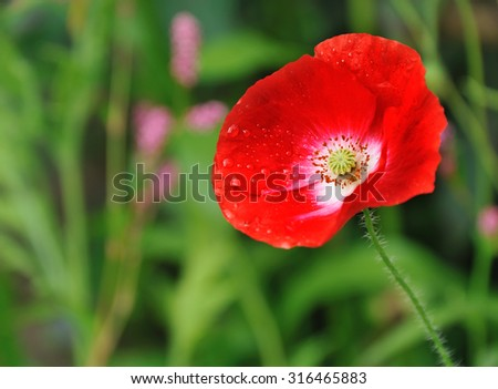 red poppy in summer flower bed closeup - stock photo