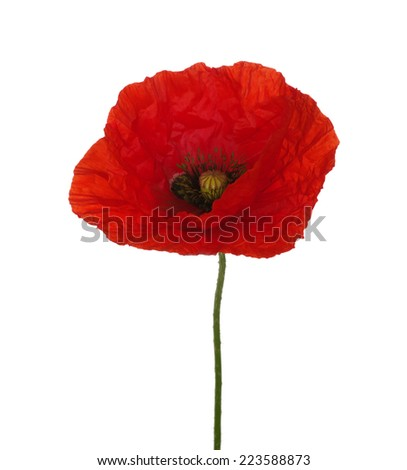 red poppy isolated on white - stock photo