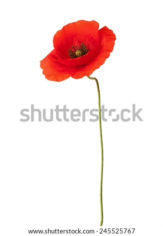 Red poppy isolated on white. - stock photo