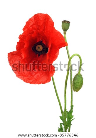 red poppy on a white background - stock photo