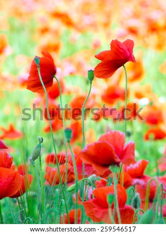 red poppy on cereal field - stock photo
