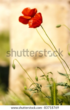 Red poppy pair at castle ruins - stock photo