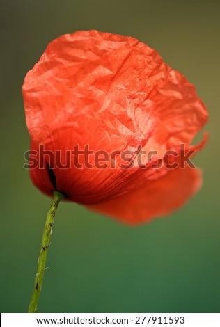 Red poppy, Red poppy close up on green grass background, single poppy, spring summer flower, peprina, red flower, poppy, blurry motion, red poppy in blurry background - stock photo
