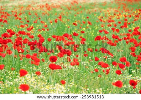 red poppy wild flowers meadow springtime - stock photo