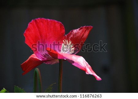 Red poppy with its petals blown open showing the stamen - stock photo