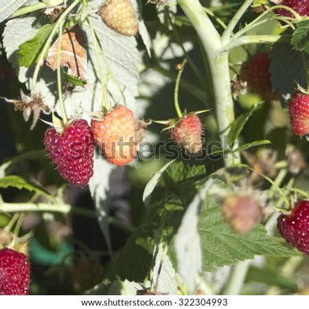 Red Raspberry on branch with leaves. Sun lignt - stock photo
