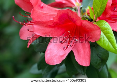 Red Rhododendron blooming (Rhododendron scabrum) - stock photo