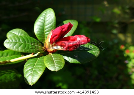 Red rhododendron bud in garden almost opening - stock photo