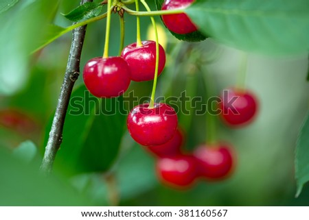 Red ripe sour cherries hanging on cherry tree twig with green leaves outdoor, horizontal photo  - stock photo