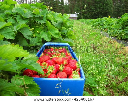 Red ripe strawberries in the blue basket in the strawberry patch on the farm. - stock photo