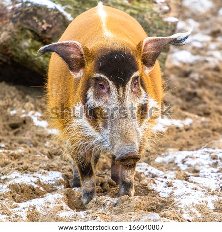 Red river hog closeup standing on the sand with snow - stock photo