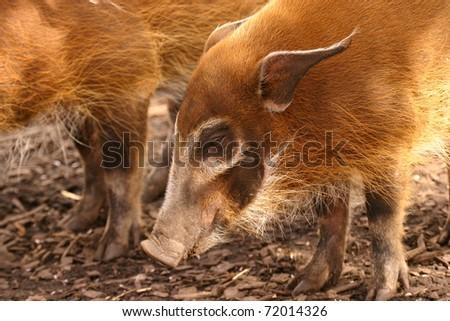 Red River Hog - Potamochoerus porcus - stock photo