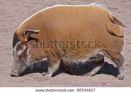Red river hog (Potamochoerus porcus). Bioparc, Valencia, Spain - stock photo