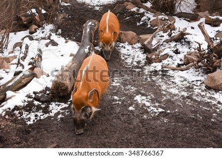 Red River Hogs in the winter in the mountains searching for something to eat.  - stock photo