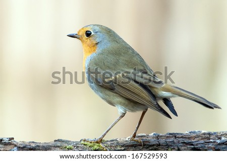 Red robin (Erithacus rubecula) on a branch. - stock photo