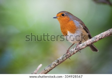 Red robin hanging out on a tree branch - stock photo