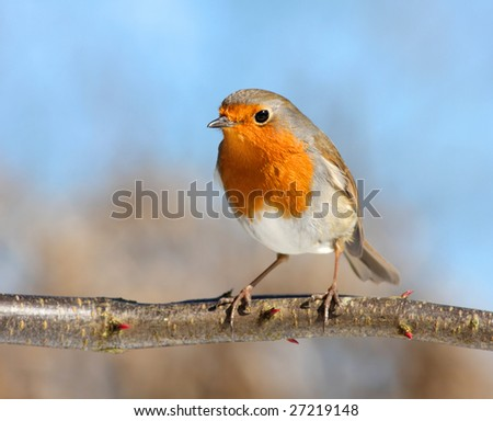 red robin in beautiful light, on a branch - stock photo
