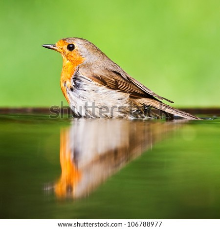 Red robin in the water - stock photo