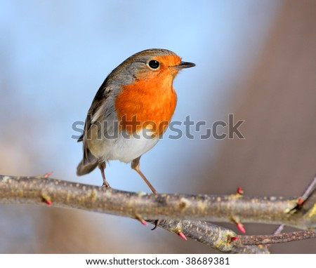 red robin on a branch - stock photo