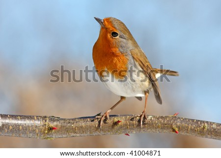 red robin on a branch, against the blue sky - stock photo