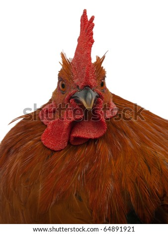 Red rooster. - stock photo
