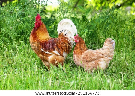 Red rooster and hen in green grass, close up - stock photo