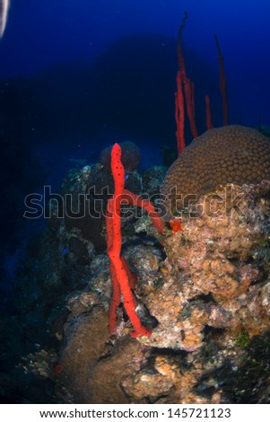 Red rope sponges growing out of the reef - stock photo