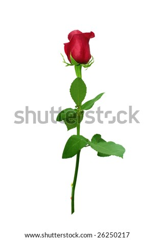 Red rose. - stock photo