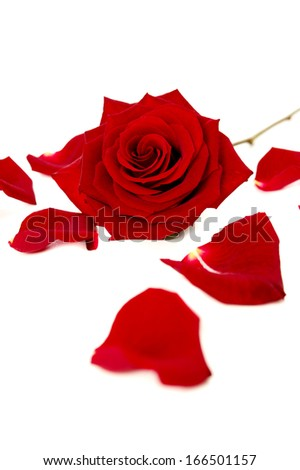 Red rose and petals isolated on a white background - stock photo