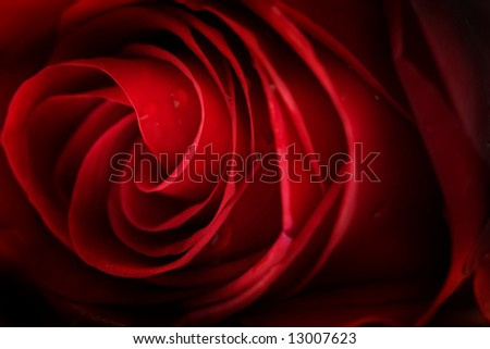 Red rose background, low DOF - stock photo
