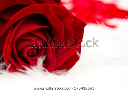 Red rose bloom with feathers isolated on white - stock photo
