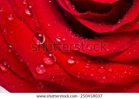 red rose bud close up macro shot with water drops isolated on white - stock photo