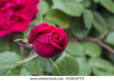 Red rose bud in garden - stock photo