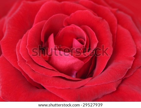 red rose center - stock photo