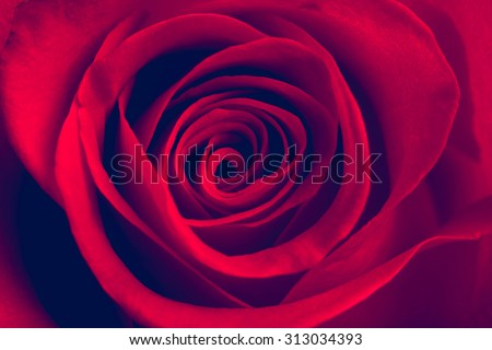 Red rose close-up. Vintage style image  - stock photo