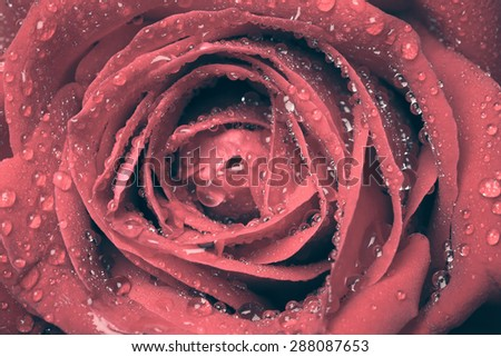 red rose close up vintage tone - stock photo