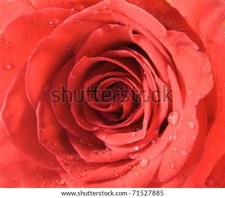Red rose closeup with drop - stock photo