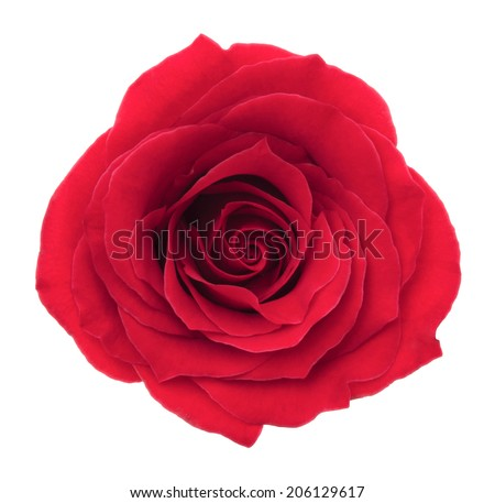 Red rose. Deep focus. No dust. No pollen. Isolated on white background.  - stock photo