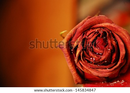 Red rose flower closeup with waterdrops - stock photo