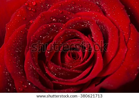 red rose flower detail with droplets, macro shot for mother's day greeting card or book cover design - stock photo