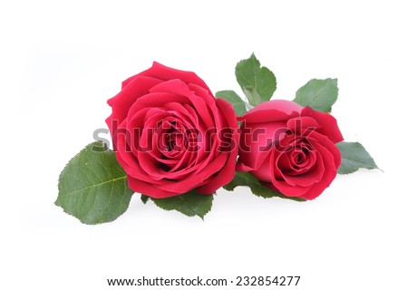red rose flower isolated on white background - stock photo