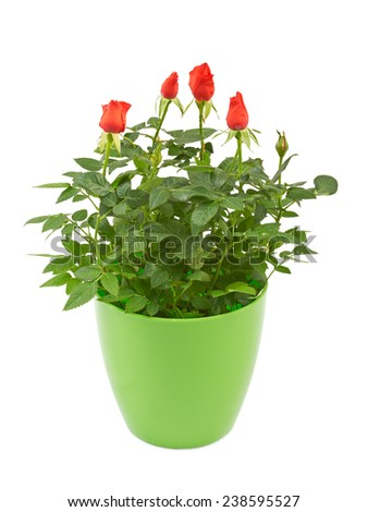 Red rose flowers in a plastic pot isolated on white. - stock photo