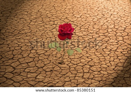Red Rose Growing in Cracked Earth - stock photo