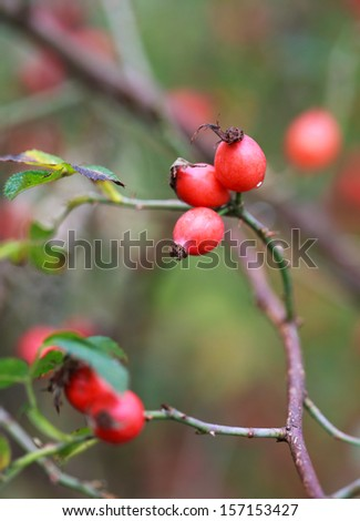 red rose hips on a bush, autumn, selective focus - stock photo