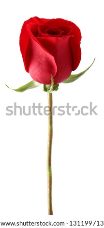 Red rose in closeup - stock photo