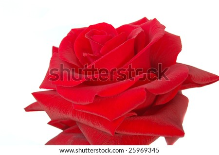 Red rose isolate - stock photo