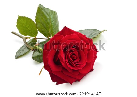 Red rose isolated on white background.  - stock photo