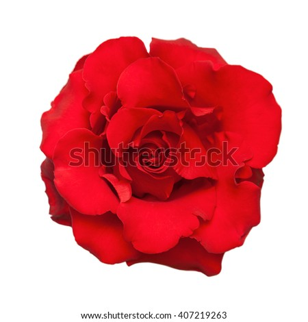 Red rose. Isolated on white background. - stock photo