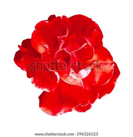 Red rose. Isolated on white background. Close-up. - stock photo