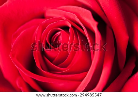 Red rose macro closeup showing the petals.  Shallow depth of field. - stock photo